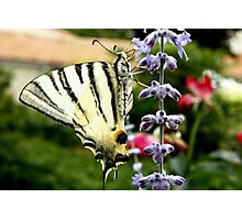 Tiger Butterfly Photographic Print