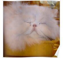 Soft white cat Poster
