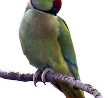 Indian ring necked parrot by missmoneypenny