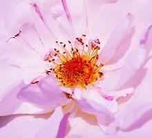 Bulgarian Oleaginous Rose, used in perfume industry by Atanas Bozhikov NASKO