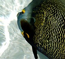 Friendly French Angelfish by PhotosByLeila