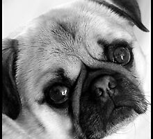 Pug dog looking by Denis Charbonnier