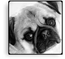 Pug dog looking Canvas Print