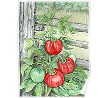 Tomato Plant Poster