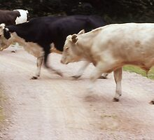 Cows crossing the road at Cambo Estate by Ann Marie Donahue