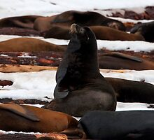 Sea-Lions in the Snow by Martin Smart