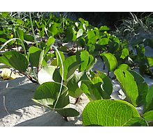 Coastal Morning Glory - Ipomoea pes-caprae Photographic Print