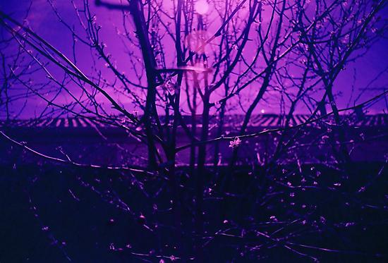 Purple Twigs by joolzy