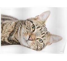 Hari the cat Poster