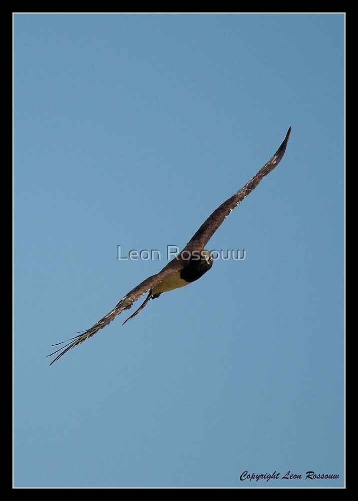 Black Chested Snake eagle by Leon Rossouw