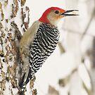 "Food ""To Go"" (Red-bellied Woodpecker) by lorilee"