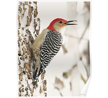 "Food ""To Go"" (Red-bellied Woodpecker) Poster"