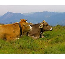 happy cows Photographic Print