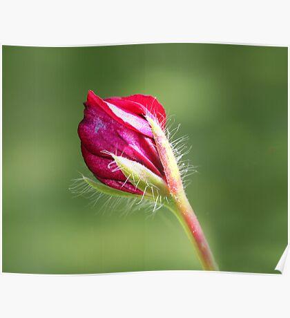 Pelargonium bud Poster