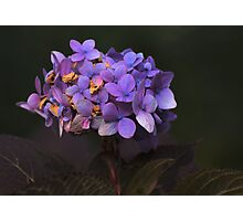 Violet with shallow dof Photographic Print