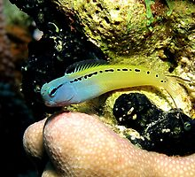 Red Sea Mimic Blenny by lilithlita