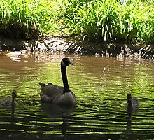 Canada Goose and Goslings by Betty Mackey
