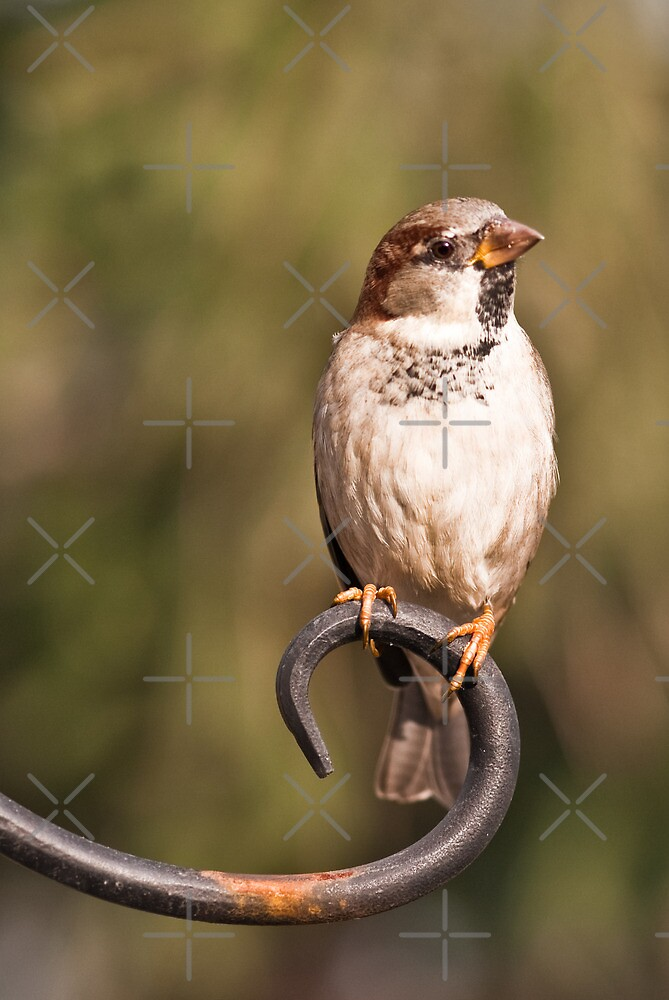 House Sparrow on Hook by (Tallow) Dave  Van de Laar