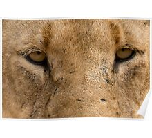Lioness Eyes Poster