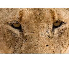 Lioness Eyes Photographic Print