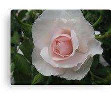 Pink Blossom Rose Canvas Print