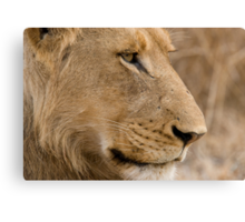 Young Male Lion  Canvas Print