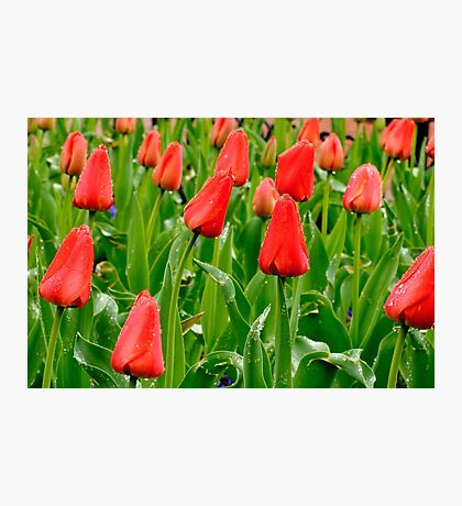 Red Tulip Field, Pearl Street, Boulder Photographic Print