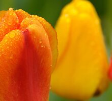 Red and Yellow Tulips, Dew on Pearl Street, Boulder by Gregg Lowrimore