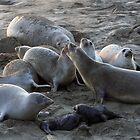 Elephant Seal Colony by CarolM
