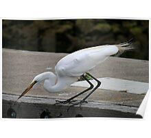Young White Heron Fishing Poster