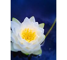 Water Lily2 Photographic Print