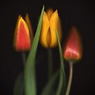 Autumn Tulips 3 by Brian Haslam