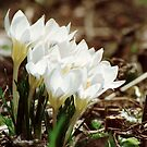 white crocus of springtime by CheyAnne Sexton