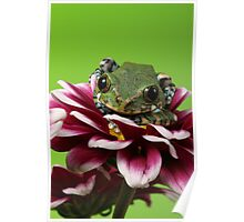 Peacock Tree Frog Poster
