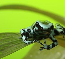 Dendrobates Poison Dart by Adam Webb