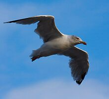 My best Seagull shot by SWEEPER