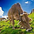 Swiss Cow by Mario Curcio