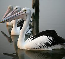 Pelicans, Mallacoota, Victoria, Australia by Michael Boniwell