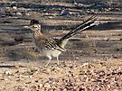 Greater Roadrunner by Kimberly Chadwick