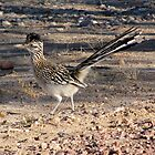 Greater Roadrunner by Kimberly P-Chadwick