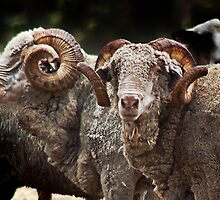 Bob's Rams by Eve Parry