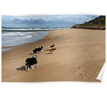 Borders & Beagles run free - Point Lonsdale  Victoria Poster