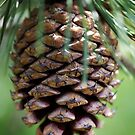 Pinecone by Pam Moore