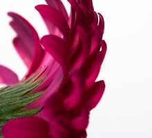 Gerbera IV by Andrew Brown