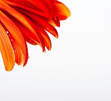 Gerbera V by Andrew Brown