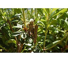 Grasshoppers Photographic Print