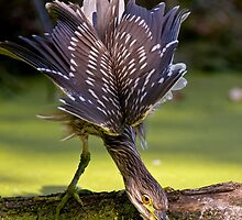 Juvenile Black Crowned Night Heron - Mudd Lake Ottawa by Michael Cummings