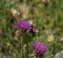 Butterfly on a flower - Val Maira (Cn) by Bru66