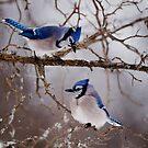 Blue Jays - Shirley's Bay, Ottawa by Michael Cummings