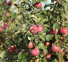 red apples on branches by mrivserg